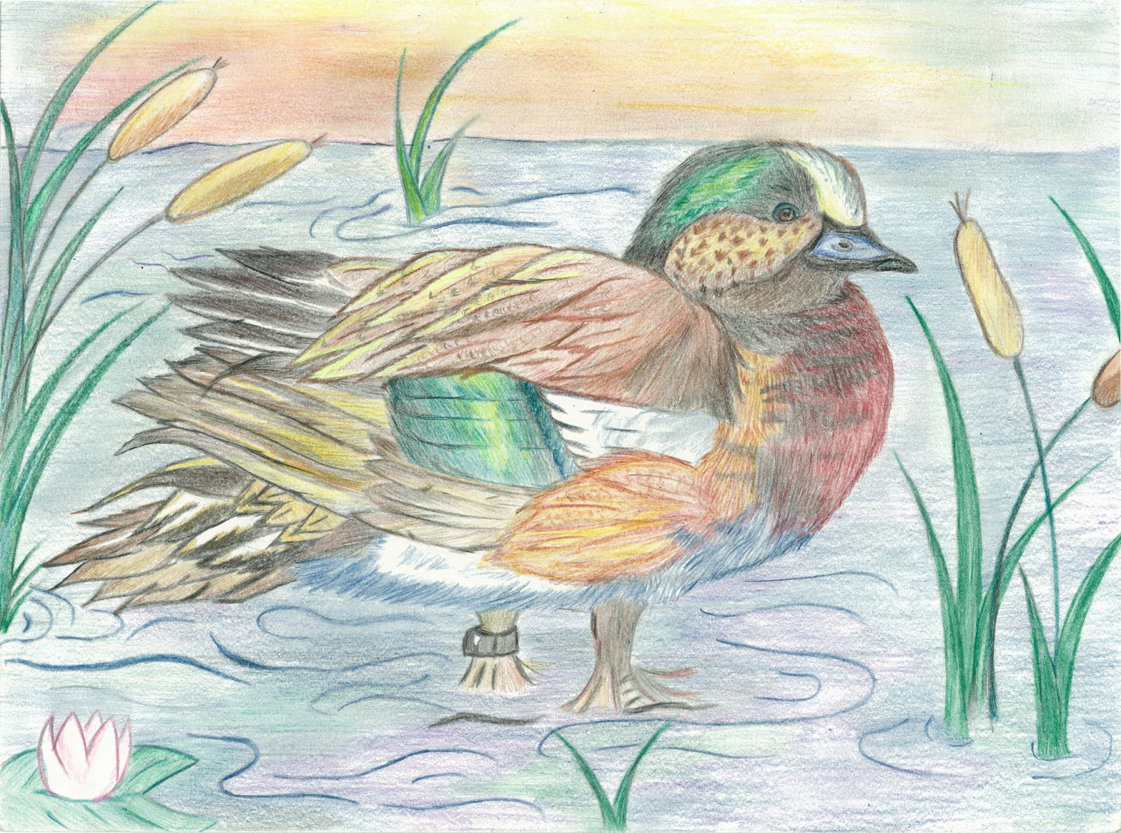 Colored pencil illustration of a duck